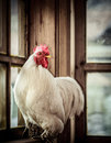 Farm white rooster Royalty Free Stock Image