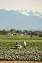 Farm Workers in Richmond British Columbia Royalty Free Stock Photo