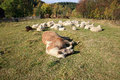 Farmer animals sunbathing in the autumn sun Royalty Free Stock Photos