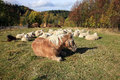 Farmer animals sunbathing in the autumn sun Royalty Free Stock Photo