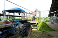 Farmer bring grass for cows Stock Photo