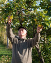 Farmer cropping quinces in the garden Royalty Free Stock Image
