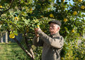 Farmer cropping quinces in the garden Royalty Free Stock Photography