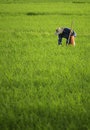 Farmer in the cultivated field rice Royalty Free Stock Photography