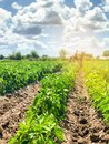A farmer cultivates vegetable rows of peppers. Plowing field. Weed protection. Seasonal farm work. Agriculture crops. Farming, Royalty Free Stock Photo
