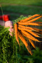 Farmer cultivating carrots a harvests from his field Royalty Free Stock Photos