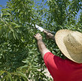 Farmer cutting branch of olive tree rear view wearing hat Royalty Free Stock Photography