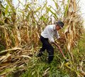 Farmer cutting the corn with the reaping hook Royalty Free Stock Photo