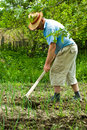 Farmer digging cultivated onion Royalty Free Stock Photo