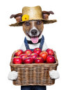Farmer dog happy holding a basket full of organic healthy apples Royalty Free Stock Photo