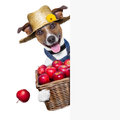Farmer dog happy holding a basket full of organic healthy apples Royalty Free Stock Images