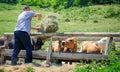 Farmer feeding cows Royalty Free Stock Photo