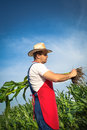 Farmer in field analysing green corn Royalty Free Stock Photo