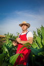Farmer in field analysing green corn Stock Photo