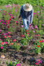 Farmer and field of flowers ubon ratchathani thailand january the model floriculture ornamental plants in the province ubon Royalty Free Stock Photo