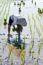 Farmer growing rice on the paddy farmland Stock Photo