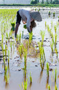 Farmer growing rice on the paddy farmland Stock Photos