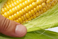 Farmer hand examining ripe corn Royalty Free Stock Photos