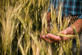 Farmer hand in wheat field Stock Photos