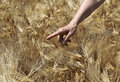 Farmer hand in wheat field agricultural concept Royalty Free Stock Photo