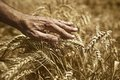 Farmer hand in wheat field agriultural background for harvesting season Royalty Free Stock Image