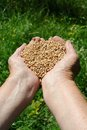 Farmer hands full of wheat Royalty Free Stock Photo