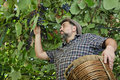 Farmer harvest wine grapes Royalty Free Stock Photo