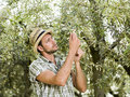 Farmer is harvesting olives italian Stock Image