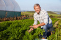 Farmer Harvesting Organic Carrot Crop On Farm Royalty Free Stock Photo