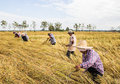 Farmer harvesting from the rice field phrae thailand november an unidentified to home on november in muang phrae thailand this Royalty Free Stock Photo