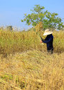 Farmer harvesting rice field by sickle traditional of thailand Royalty Free Stock Images