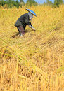 Farmer harvesting rice field by sickle traditional of thailand Royalty Free Stock Photography