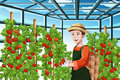 Farmer harvesting tomatoes a vector illustration of a happy in a greenhouse Royalty Free Stock Photography