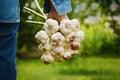 Farmer holding a bunch of garlic in the garden. Organic vegetables. Farming.