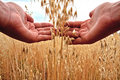 Farmer holding grain Royalty Free Stock Images
