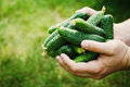 Farmer holding in hands the harvest of green cucumbers in the garden. Natural and organic vegetables. Farming.