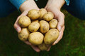 Farmer holding in hands the harvest of potatoes against green grass. Organic vegetables. Farming.