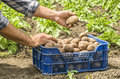 The farmer holding potatoes. Fresh and organic food. Garden. Healthy food with vitamins.