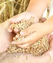 Farmer holding wheat grain. Royalty Free Stock Photo