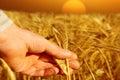 Farmer holding wheat at sunrise