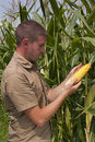 Farmer inspecting maize harvest Stock Image