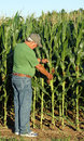Farmer inspects the corn crop what appears to be a bumper of for this year s harvest Royalty Free Stock Image