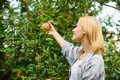 Farmer lady picking ripe fruit from tree. Harvesting concept. Woman hold ripe apple tree background. Farm producing Royalty Free Stock Photo