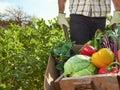 Farmer on local sustainable organic farm harvesting vegetables a growing seasonal produce a wheelbarrow Royalty Free Stock Image