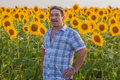 Farmer looking at sunflower standing in a field the crop Stock Image