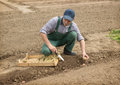 Farmer manually put the potatoes in the furrow happy Royalty Free Stock Photography
