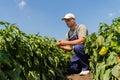 Farmer in pepper fields
