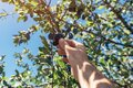 Farmer picking ripe plum fruit tree from the branch in orchard Royalty Free Stock Photo