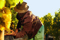 Farmer picking up the grapes in vineyard during harvesting man cutting Stock Images