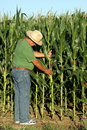 Farmer picks the corn an ear of to check an abundant crop Stock Photography
